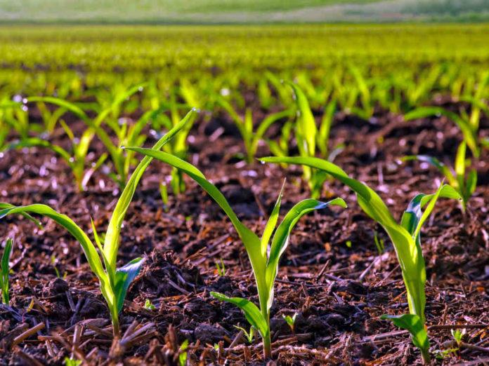 Когда садить и убирать кукурузу