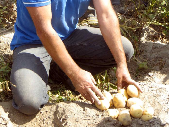 Какой сорт картофеля выбрать для любых условий выращивания