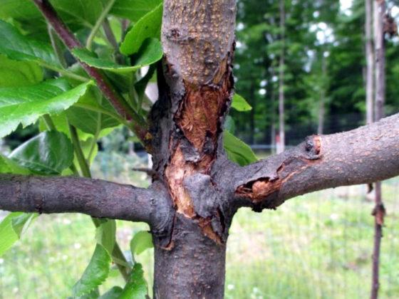Почему пропадает кора на яблоне?