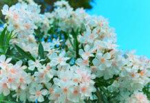 Бело-розовые облака с чудным ароматом
