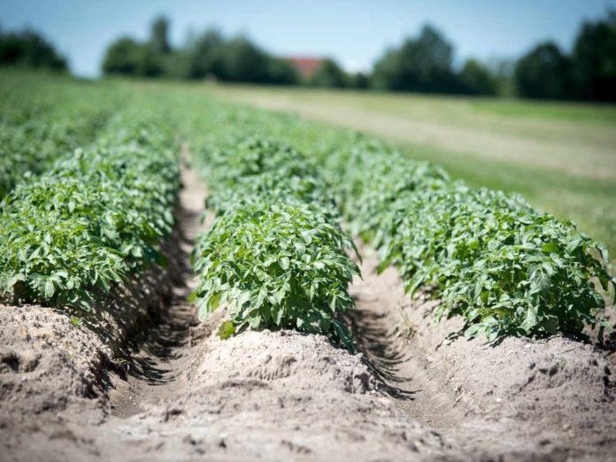 Хитрости при посадке порея, картофеля и кукурузы