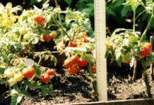 Томаты плодоносят в коробах