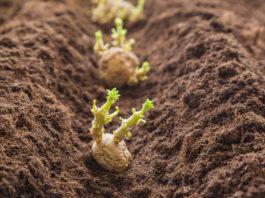 Выращивание картофеля по голландскому методу