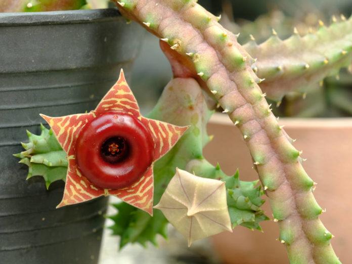 Гуэрния - цветок, способный удивлять