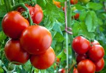 Секреты повышения урожайности томатов