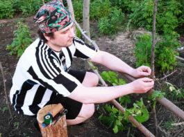 Д. Терентьев подвязывает виноград.