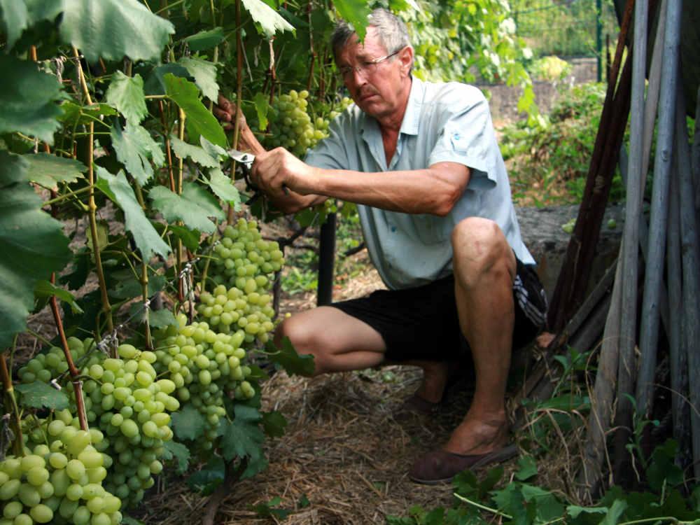 Виктор Таранюк удаляет лишние листья на виноградной лозе.