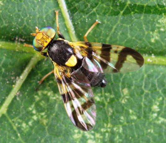 Тля и муха на вишнях и черешнях