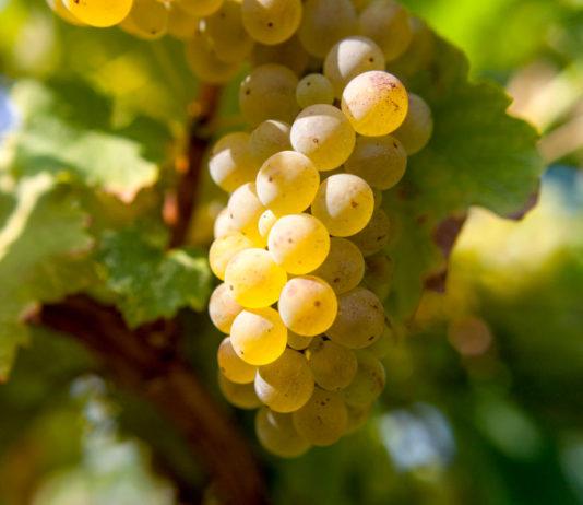 Вредители винограда в период созревания урожая