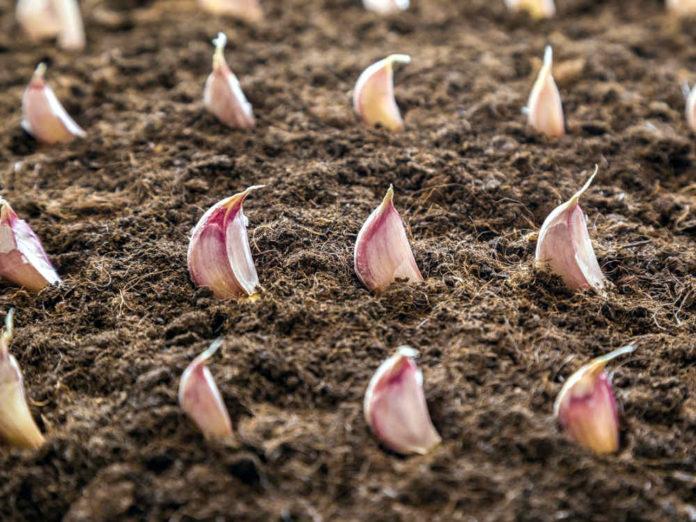 Чеснок под зиму: как получить хороший урожай