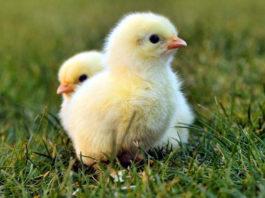 Какую траву лучше давать цыплятам?