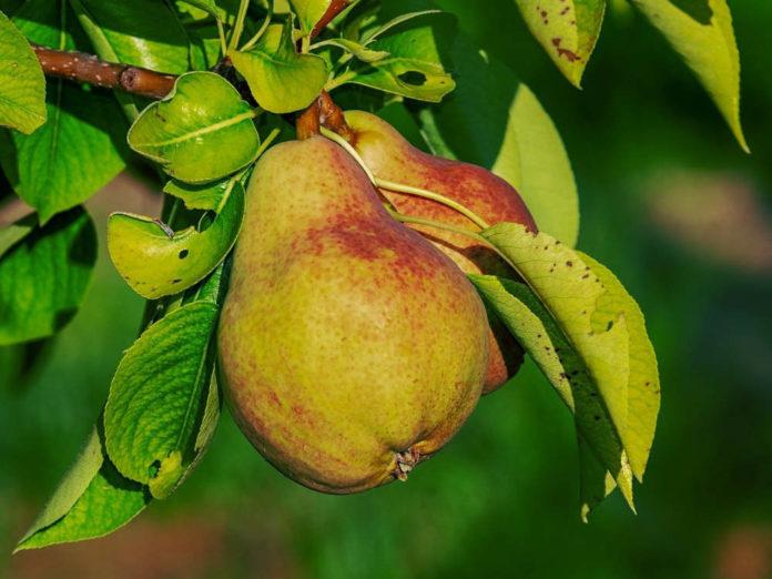 Королева среди фруктов